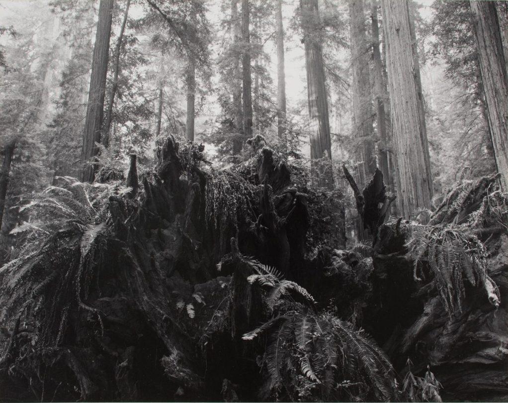 Redwood Stump and Ferns, Rockefeller Grove, Redwood National Park, California