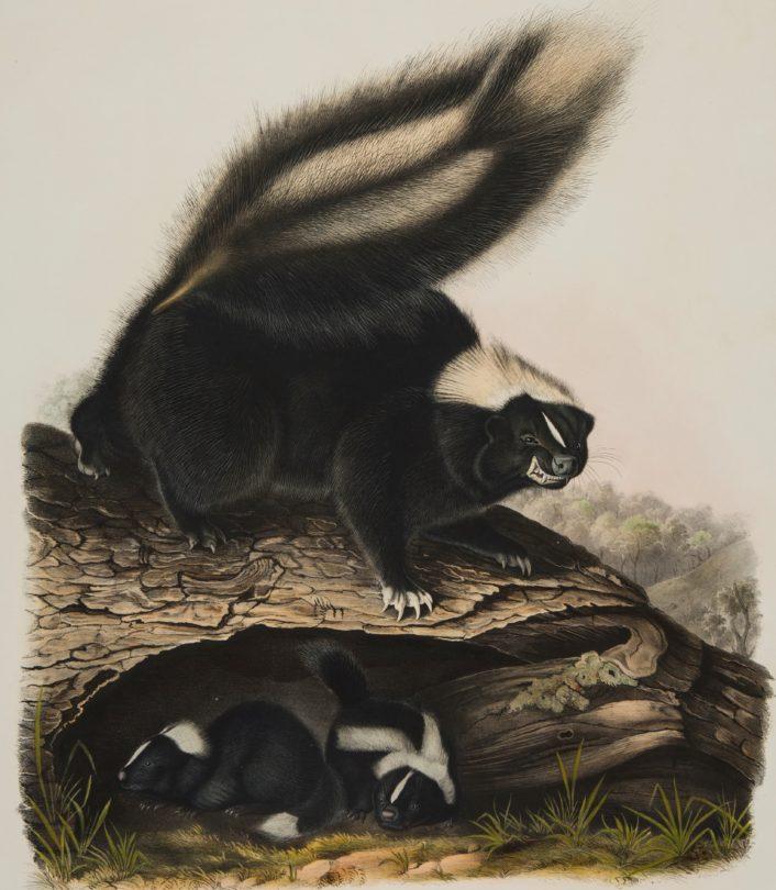 Common American Skunk
